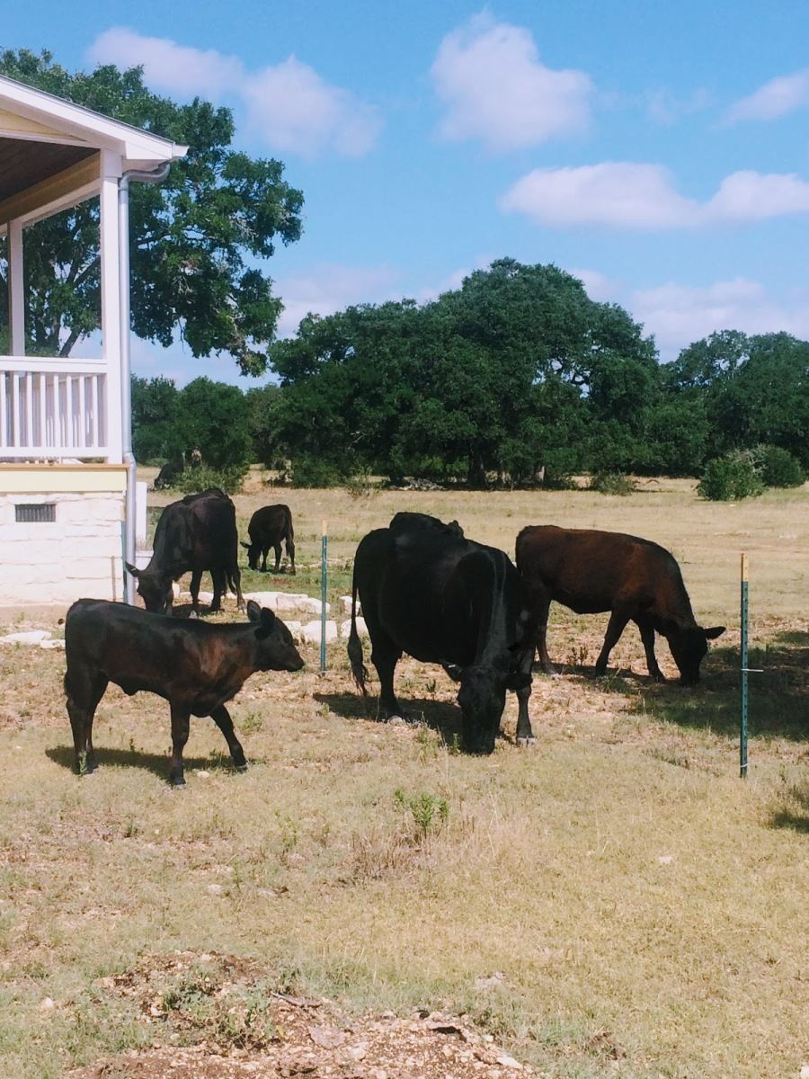 cows in yard